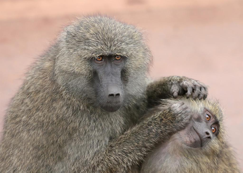 Grooming_monkeys